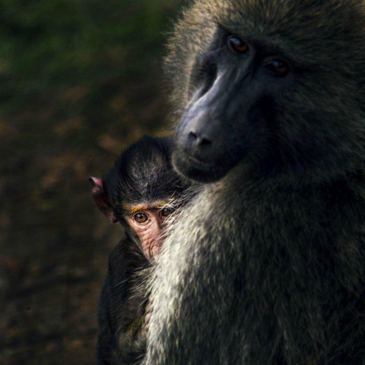 surprisinglives.net/baboon-nakura-rift-valley-kenya-1200-1200/