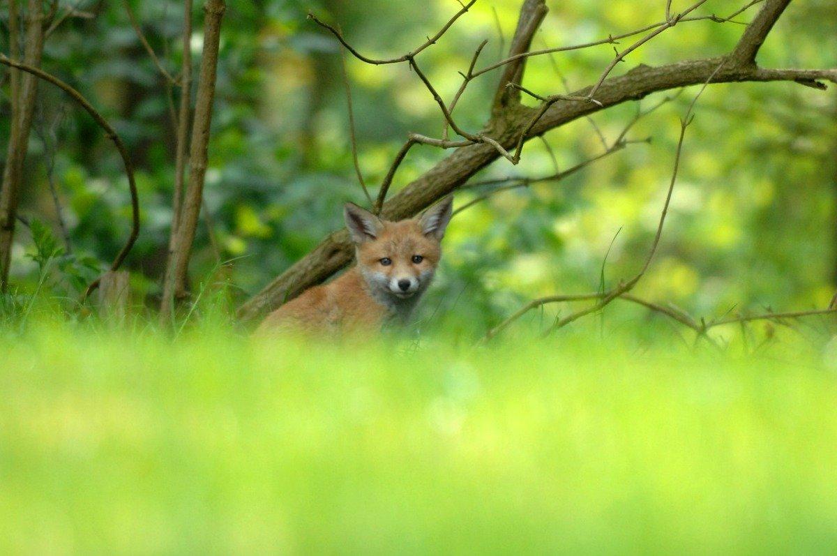 surprisinglives.net/unlikely-fox-photos/