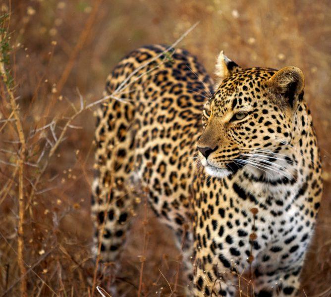 jane lurie leopard by surprisinglives.net