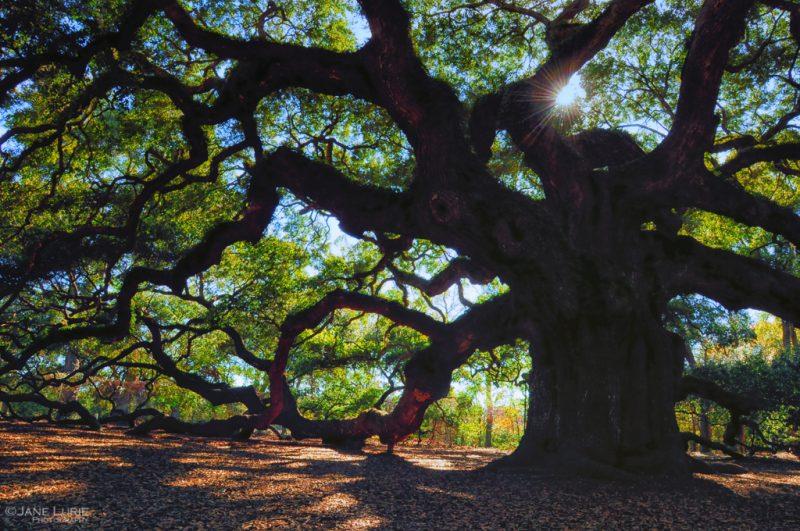 angel oak by Jane Lurie