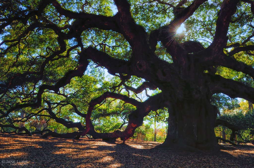 angel oak by Jane Lurie