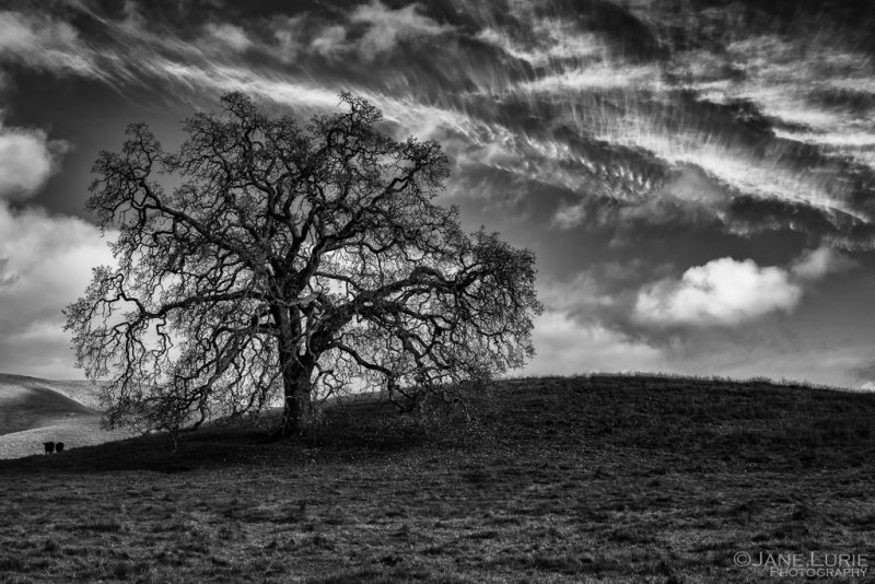 oak and clouds by Jane Lurie