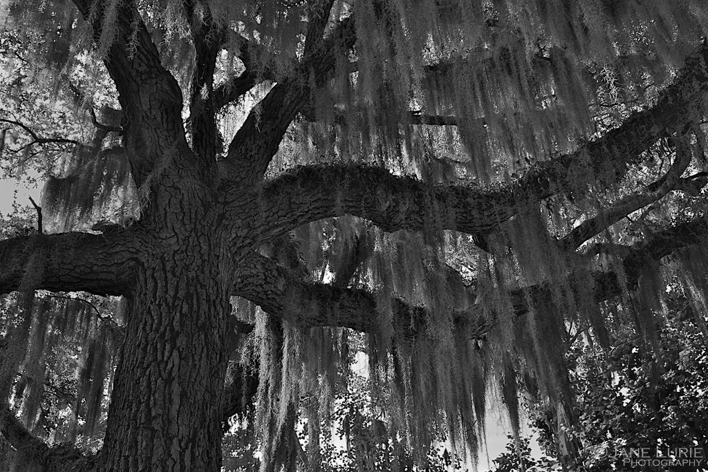 live oak and spanish moss by Jane Lurie