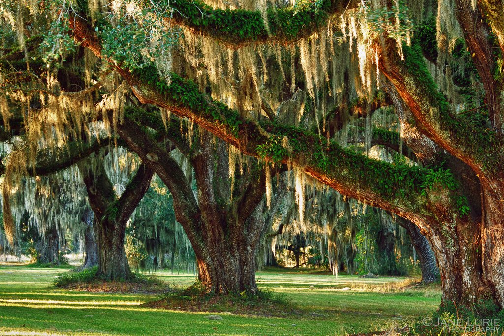 live oaks and morning sun by Jane Lurie