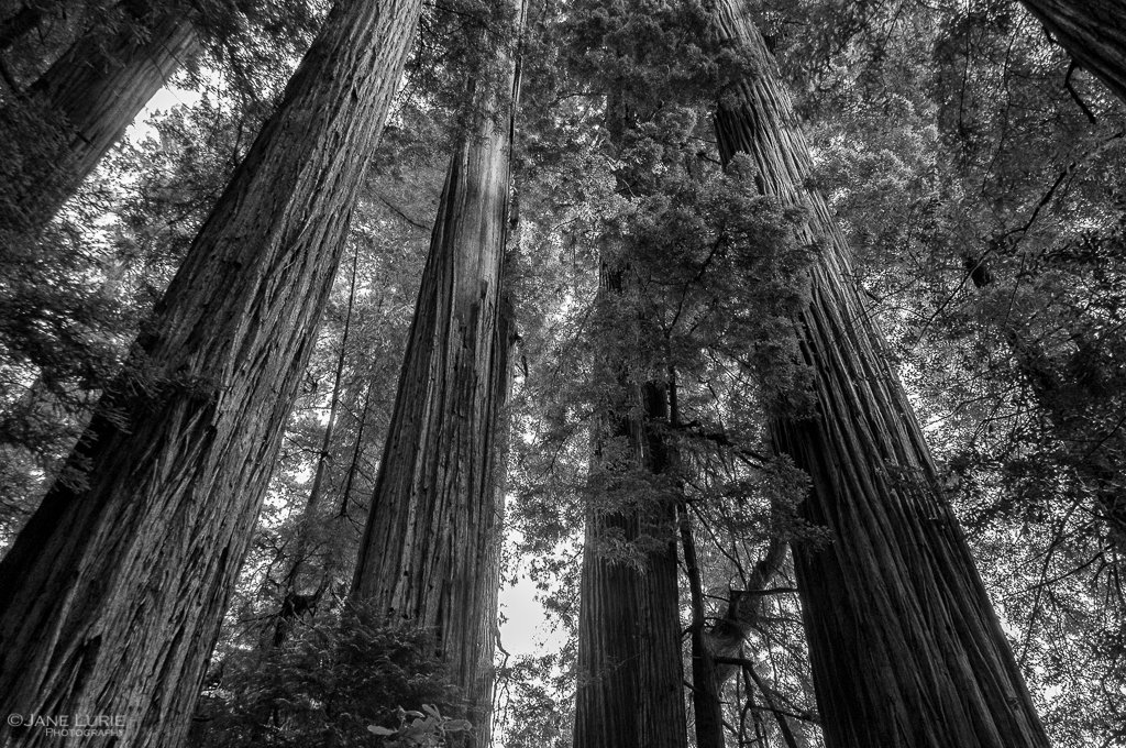 redwoods rising by jane lurie